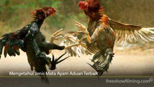 Mengetahui Jenis Mata Ayam Aduan Terbaik