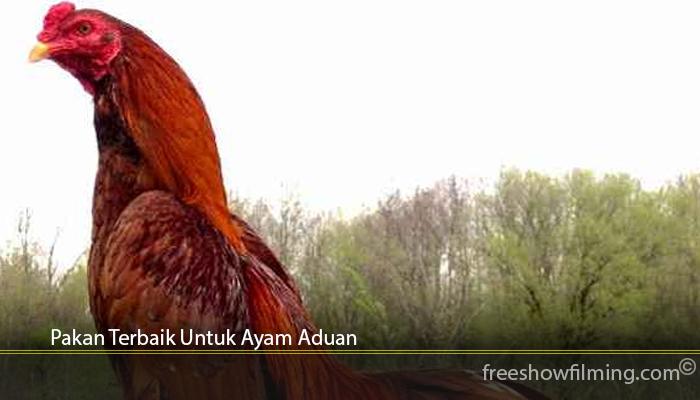 Pakan Terbaik Untuk Ayam Aduan