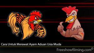 Cara Untuk Merawat Ayam Aduan Usia Muda