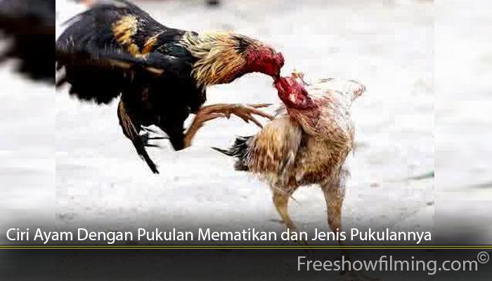 Ciri Ayam Dengan Pukulan Mematikan dan Jenis Pukulannya